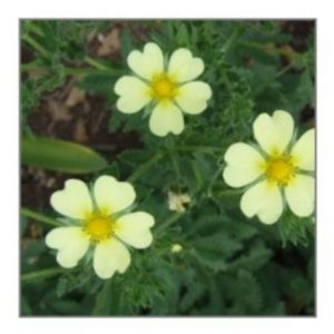 Medicinal Herb Seeds