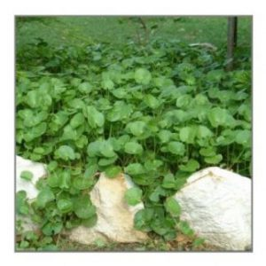 Arthritic Herbs