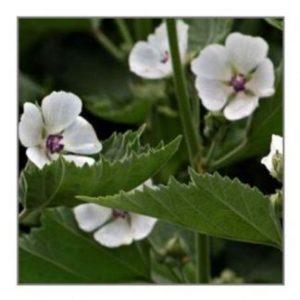 Beauty Herbs
